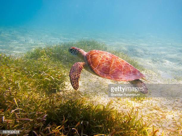 Sea Turtle in Culebra Island