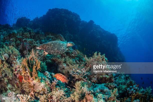 Zeeschildpad in natuurlijke omgeving