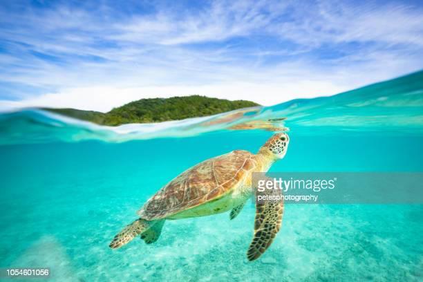 tortugas marinas en el paraíso - dermoquélidos fotografías e imágenes de stock