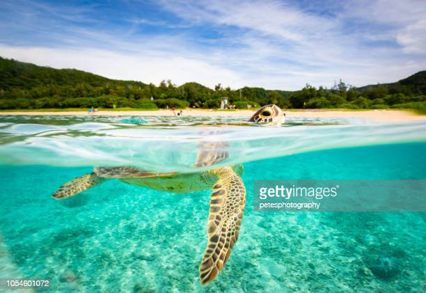 sea turtle in paradise - okinawa prefecture stock pictures, royalty-free photos & images