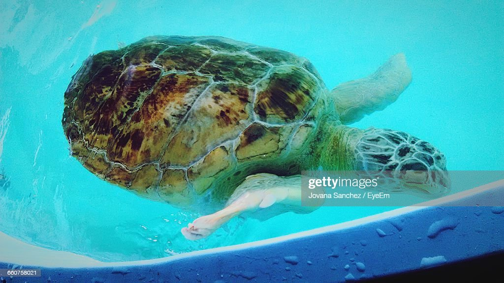 Sea Turtle In Swimming Pool High-Res Stock Photo - Getty Images