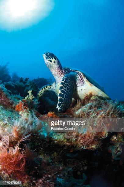 sea turtle, klein bonaire - klein stock pictures, royalty-free photos & images