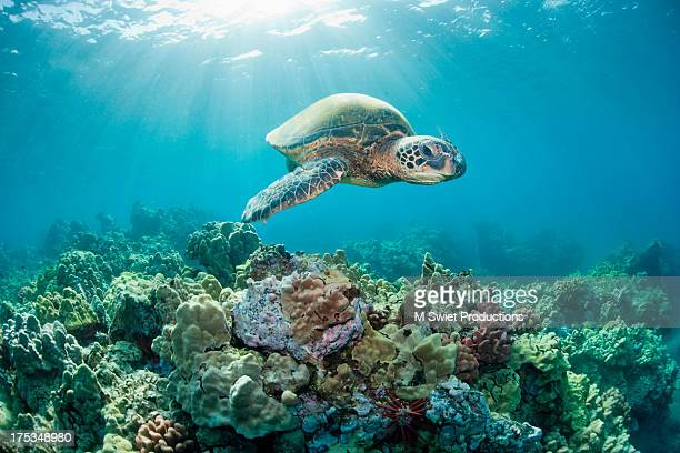 sea turtle light reef - reef stock pictures, royalty-free photos & images
