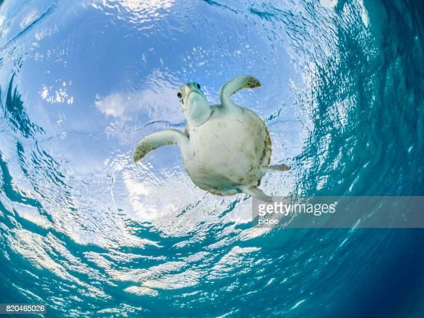 tortue de mer angle faible se bouchent. - tortue photos et images de collection