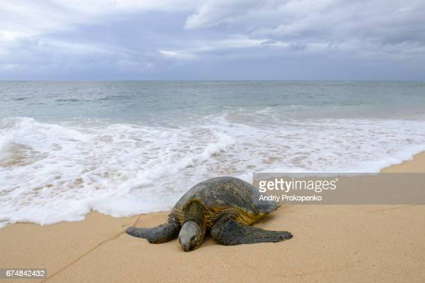 Sea turtle lying in the sand