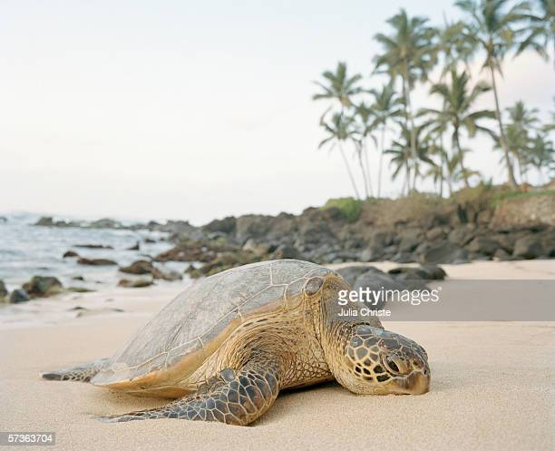 A sea turtle (Chelonia mydas) lying on a sandy beach