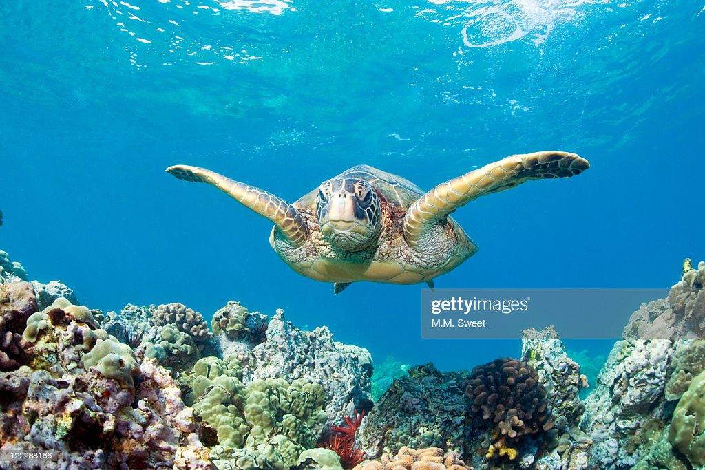 Sea Turtle Maui : Stock Photo