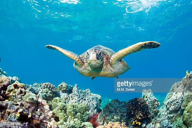 sea turtle maui - green turtle stock photos and pictures