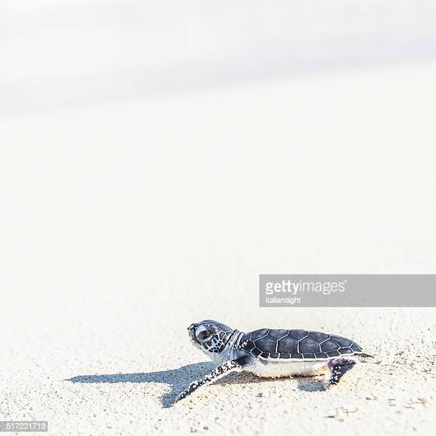 Close up of a sea turtle just hatched.First steps on the white beach from its nest toward the sea.Cancun,Yucatan,Mexico.