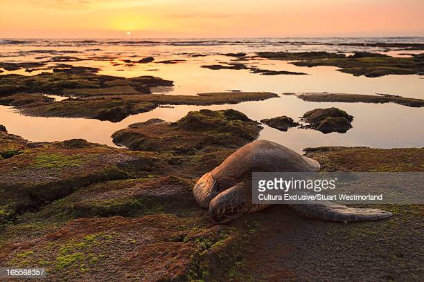 sea turtle on mossy rocks - hapuna beach stock photos and pictures
