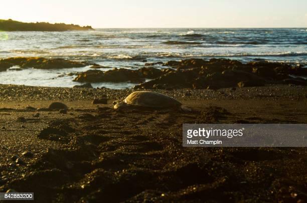 sea turtle on punalu'u beach black sand beach, hawaii, usa - punalu'u_beach stock pictures, royalty-free photos & images