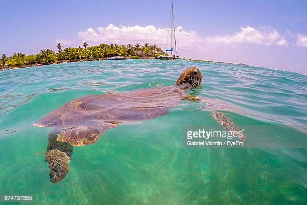 sea turtle on rippled turquoise water with trees and sailboats in distant - um animal - fotografias e filmes do acervo
