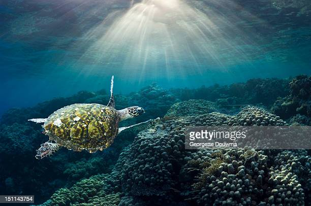 sea turtle over corals - red sea stock pictures, royalty-free photos & images