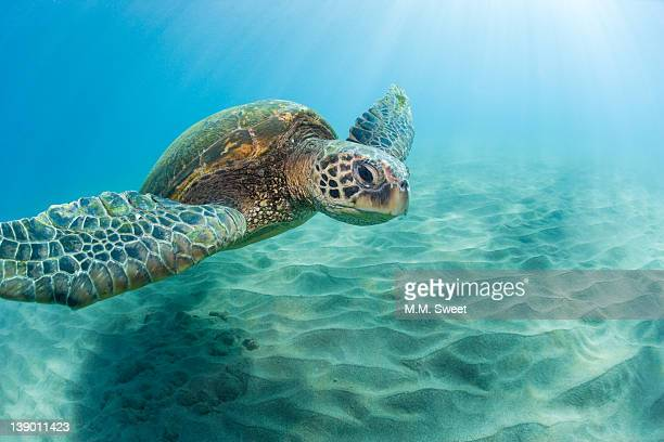 sea turtle - green turtle stock photos and pictures