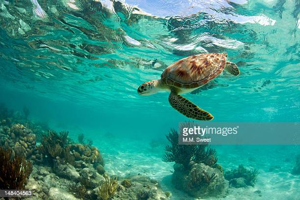sea turtle - quintana roo stock pictures, royalty-free photos & images
