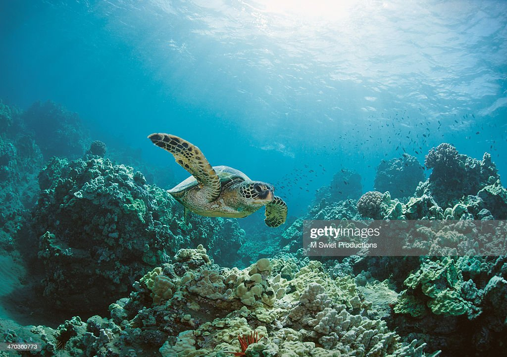 sea turtle : Foto de stock