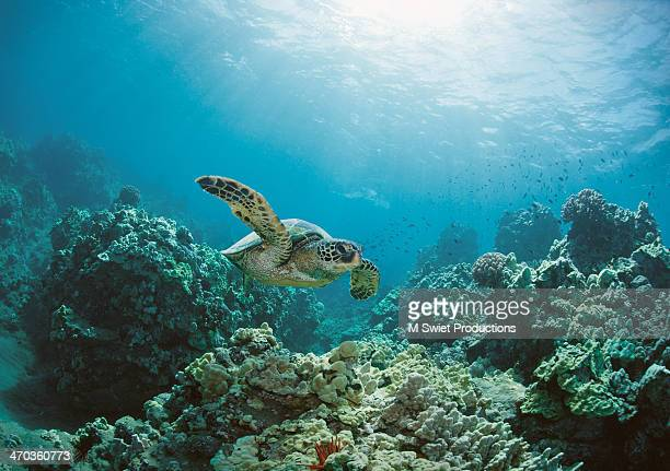 sea turtle - reef stock pictures, royalty-free photos & images