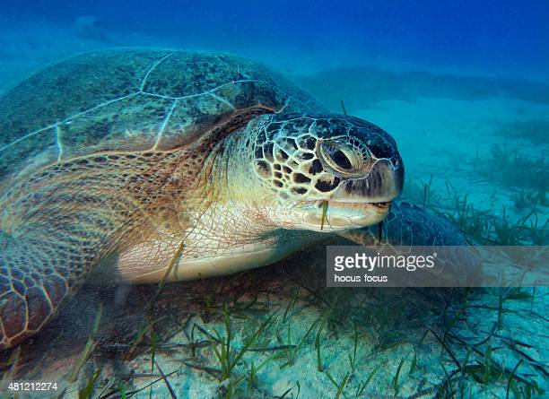 sea turtle - big bottom stock pictures, royalty-free photos & images