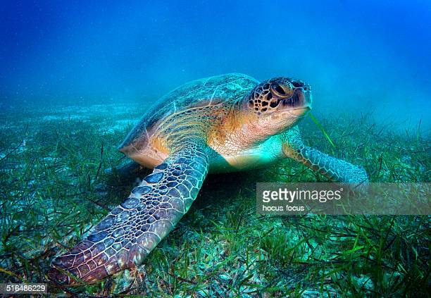 sea turtle - green turtle stock pictures, royalty-free photos & images