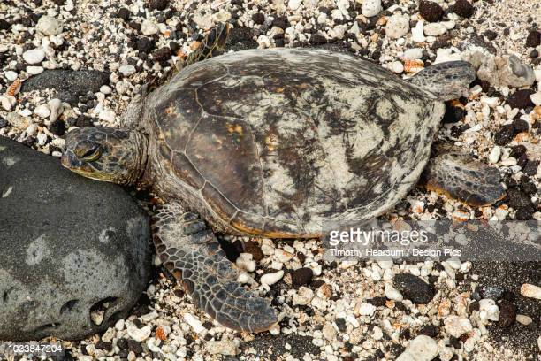 A sea turtle (Chelonioidea) rests on a rocky, shell covered beach on a hawaiian island