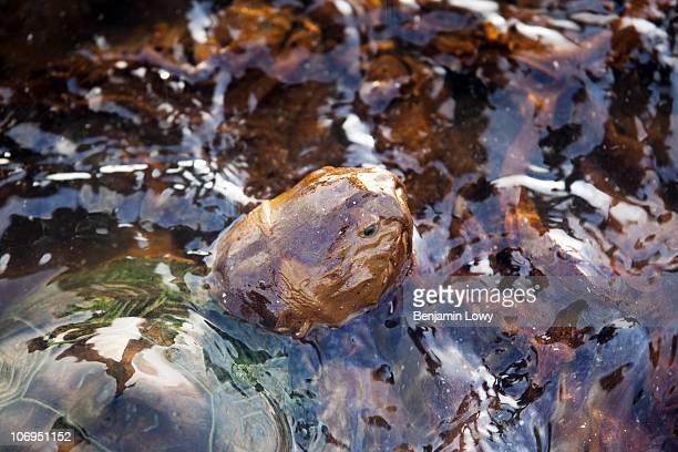 A sea turtle struggles to free itself from a pool of congealed crude oil on June 8 2010 off the coast of Grand Terre Island LA The turtle eventually...