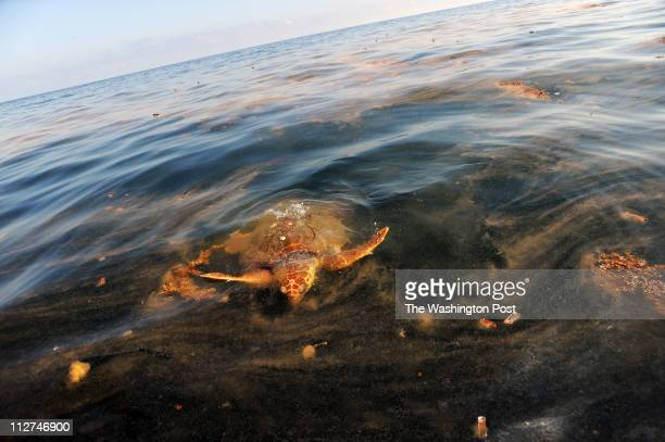 A sea turtle surfaces to feed on Portuguese ManOWar contaminated with oil due to the spill from the Deepwater Horizon rig