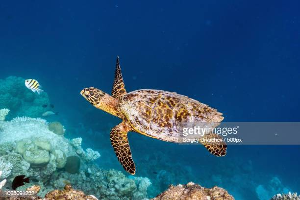 sea turtle swimming along coral reef - hawksbill turtle stock pictures, royalty-free photos & images