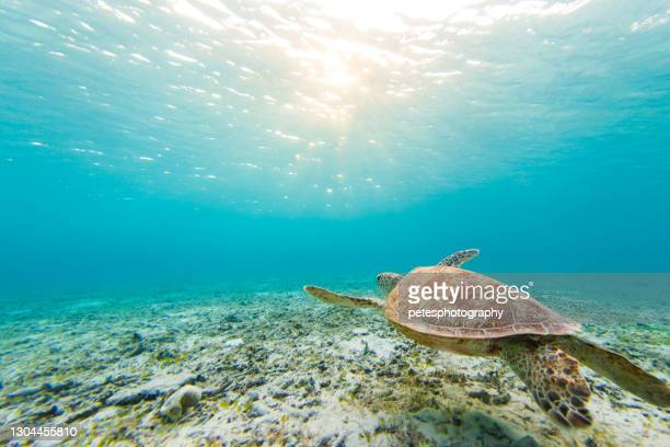 sea turtle swimming in clear blue waters - invertebrate stock pictures, royalty-free photos & images