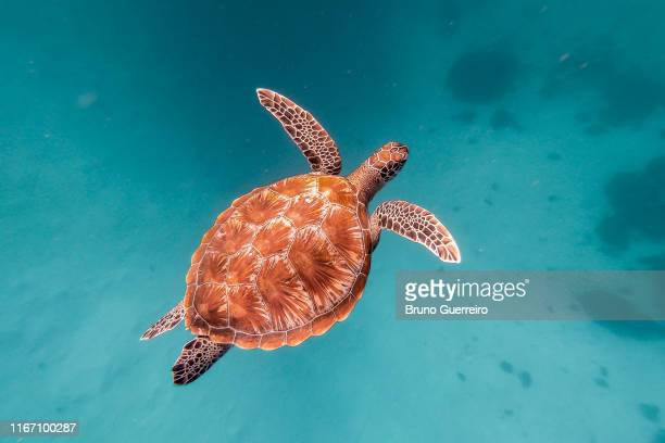 sea turtle swimming in crystal clear water - east nusa tenggara stock pictures, royalty-free photos & images