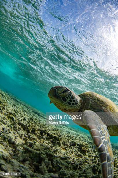 sea turtle swimming - international landmark stock pictures, royalty-free photos & images
