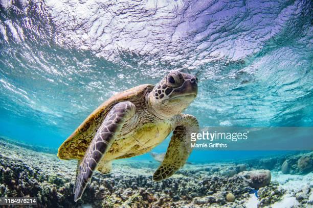 sea turtle swimming - ハードコーラル ストックフォトと画像