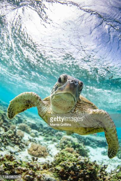 sea turtle swimming - green turtle stock pictures, royalty-free photos & images