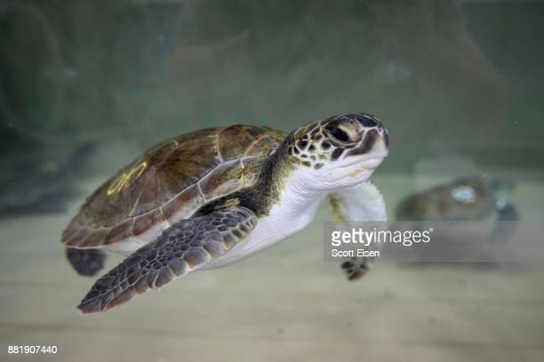 A sea turtle swims in a tank at New England Aquarium's Sea Turtle Hospital on November 29 2017 in Quincy Massachusetts The New England Aquarium has...
