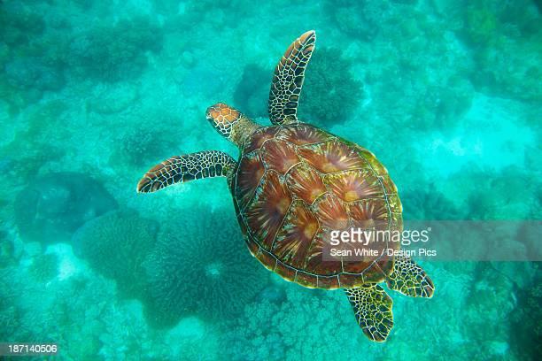 A Sea Turtle Swims Underwater In The Apo Island Marine Reserve And Fish Sanctuary