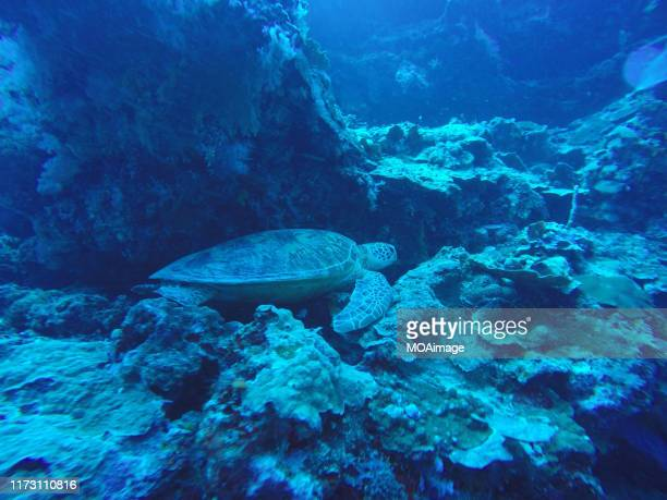 sea turtle under the sea,niue - american samoa stock pictures, royalty-free photos & images