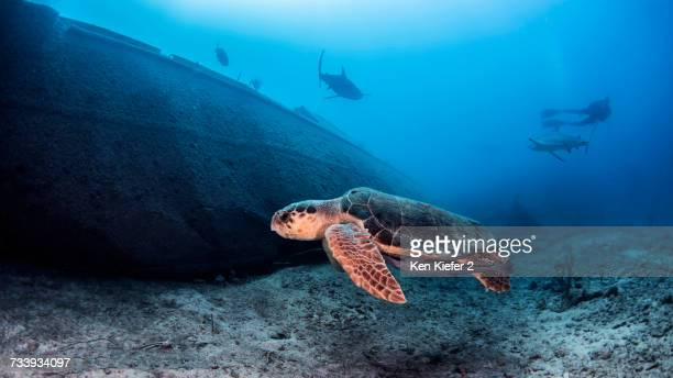 sea turtle, underwater view, nassau, bahamas - nassau stock photos and pictures