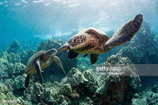 sea turtles - mammal stock pictures, royalty-free photos & images