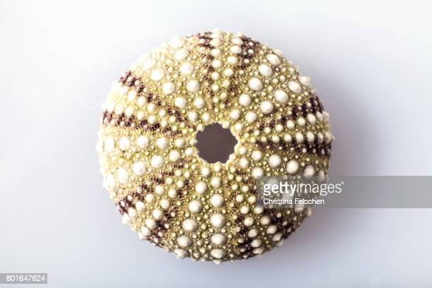 sea urchin on a white background - sea urchin stock pictures, royalty-free photos & images
