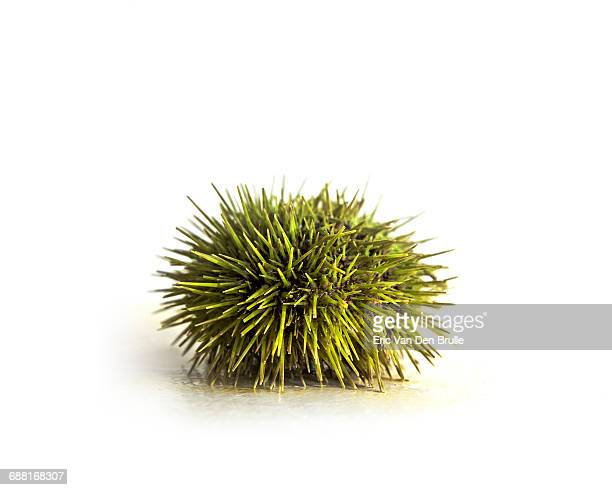 sea urchin on white background - eric van den brulle stockfoto's en -beelden
