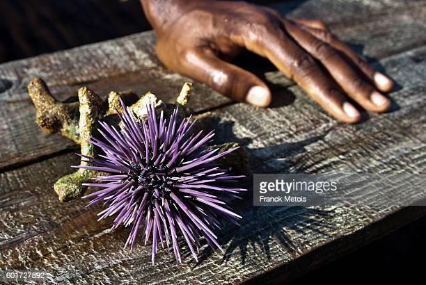 Sea urchin ( Madagascar)