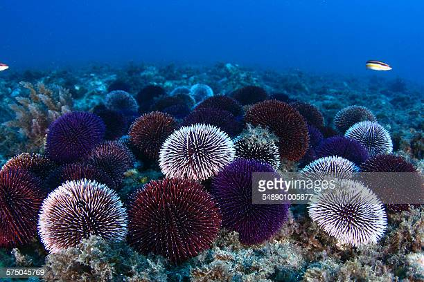 sea urchin reproduction - sea urchin stock pictures, royalty-free photos & images