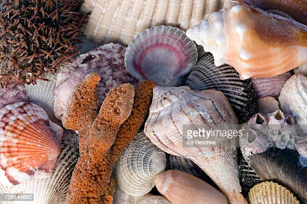 sea urchin, sponge, barnacles, scallops (a bivalve), and assorted snail shells (gastropods) siesta key, florida, usa - siesta key bildbanksfoton och bilder