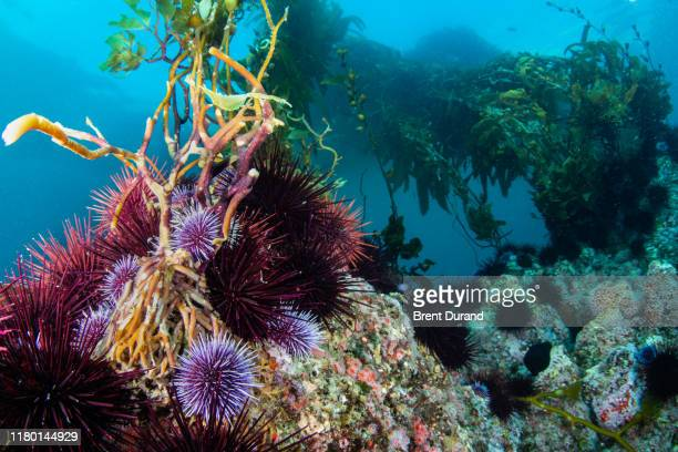 sea urchins and kelp - sea urchin stock pictures, royalty-free photos & images