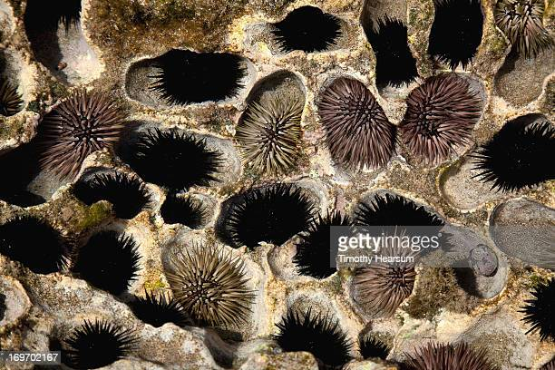 sea urchins nestled in air holes of lava rock - timothy hearsum stock pictures, royalty-free photos & images