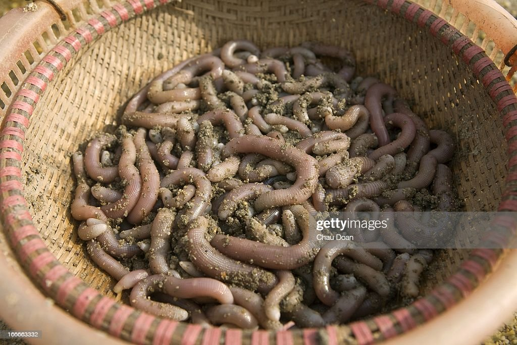 Sea Worms Dug Out From The Beach Of Bai Tu Long Sea Worms Are