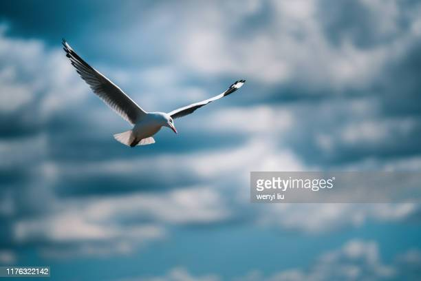 a seabird flew in the partly cloudy sky - 海洋性の鳥 ストックフォトと画像