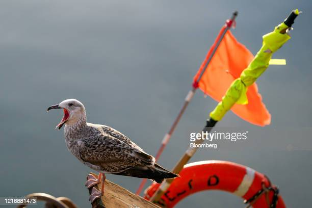 A seabird sits on a fishing boat in the harbour in Scarborough UK on Tuesday June 2 2020 The threat of a nodeal Brexit is back and with it the risk...