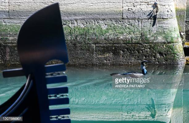 A seabird swims across clearer waters by a gondola in a Venice canal on March 17 2020 as a result of the stoppage of motorboat traffic following the...