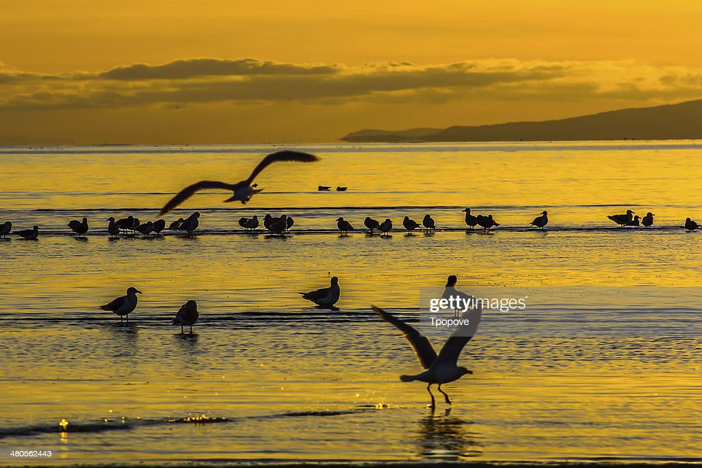 Seabirds at sunset : Stock Photo