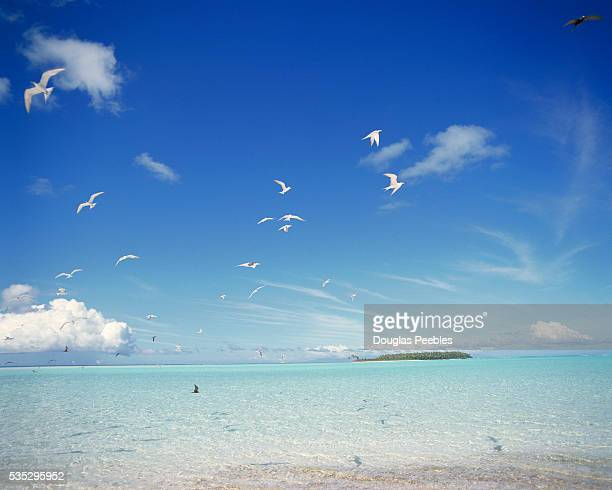 Seabirds fly over the clear water of the South Pacific while the island of Tetiaroa owned by American actor Marlon Brando is visible in the distance...